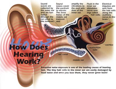 Diagram on how the ear works ..click to enlarge
